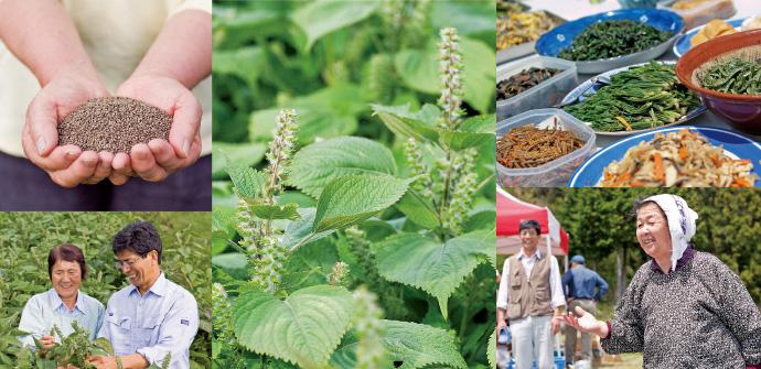 背丈ほども伸びるエゴマ。昔から家々で自家用として育てており、誰もが無理なく栽培できる食材です。安心で安全な食を願うのは、生産者も加工業者も同じです。エゴマの種子に含まれるルテオリンという成分は、アトピーや花粉症の改善にも効果が期待されるそう。昨春訪れた大東町の菜の花ツアーでは、前花菜油の会会長、石川シゲ子さんらによる手製料理がズラリ。